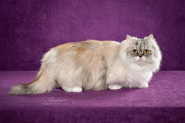10-breeds-of-cat-that-stay-small-8a-jpg