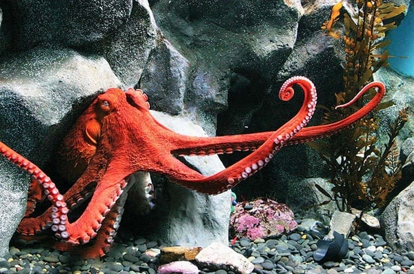 10-common-octopus-species-list-with-pictures-9