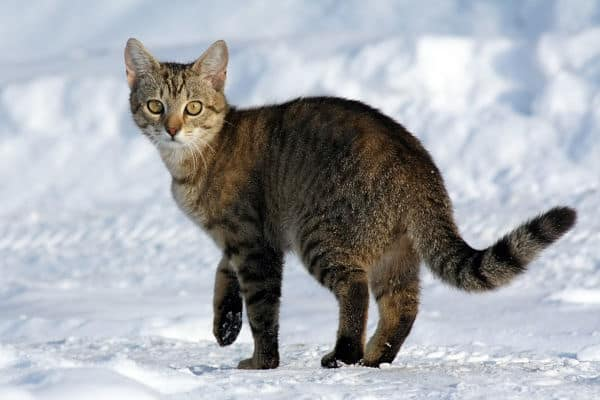 10-famous-striped-cat-breeds-in-the-world-2