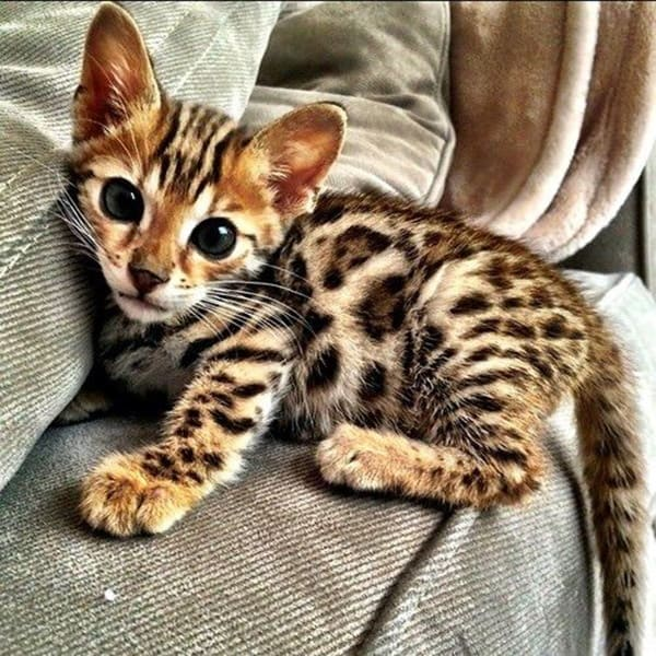 10-famous-striped-cat-breeds-in-the-world-3