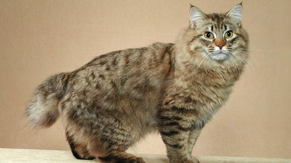 10-famous-striped-cat-breeds-in-the-world-9