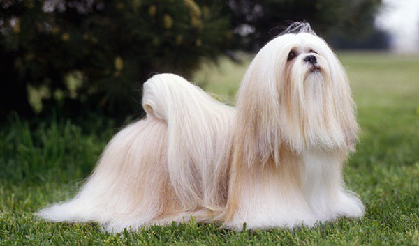 16 Popular Small Long Haired Dog Breeds - Page 16 of 16 - Tail and Fur