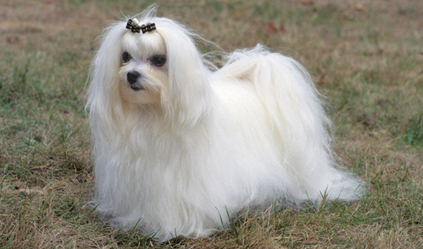 11 Popular Small Long Haired Dog Breeds - Tail and Fur