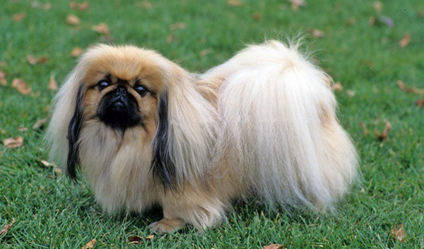 Small Dogs With Long Hair Breeds