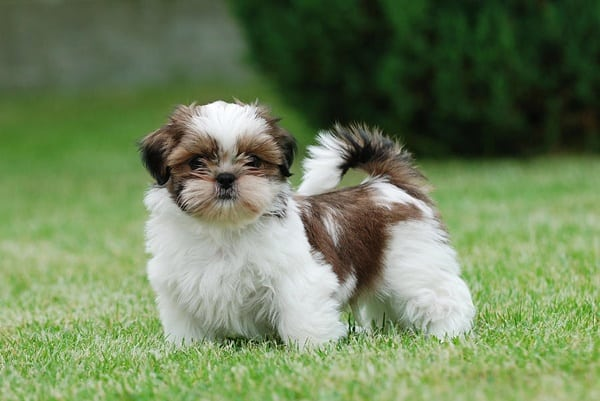 15 Popular Small Long Haired Dog Breeds - Tail and Fur