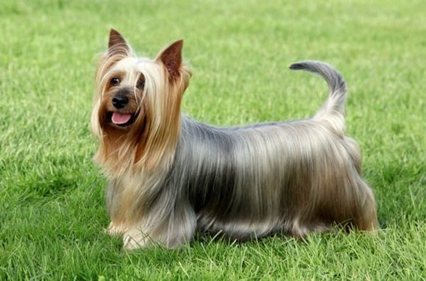 10-popular-small-long-haired-dog-breeds9
