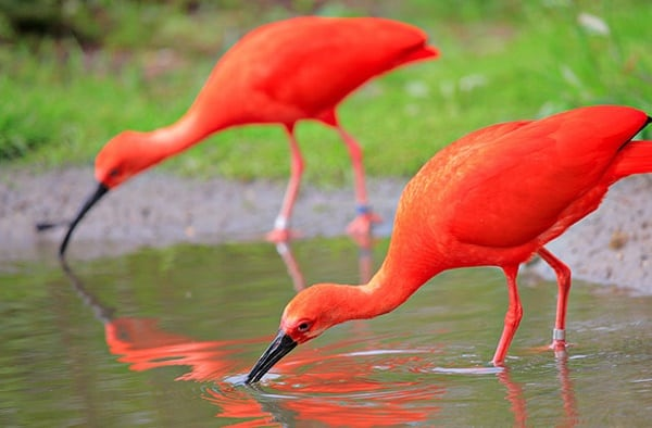 20-beautiful-red-colored-animals-in-the-world-3