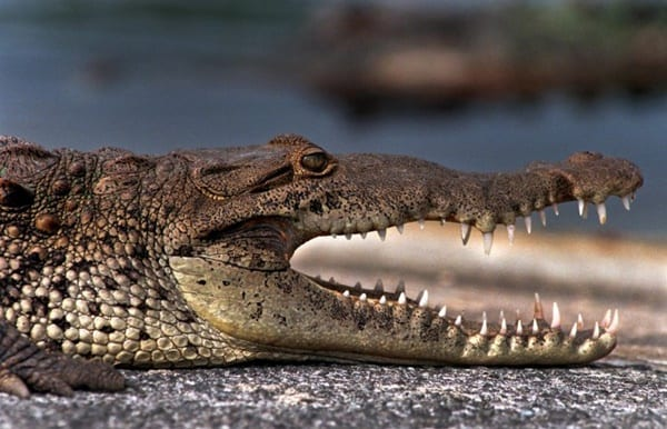 25-american-crocodile-facts-for-kids-3