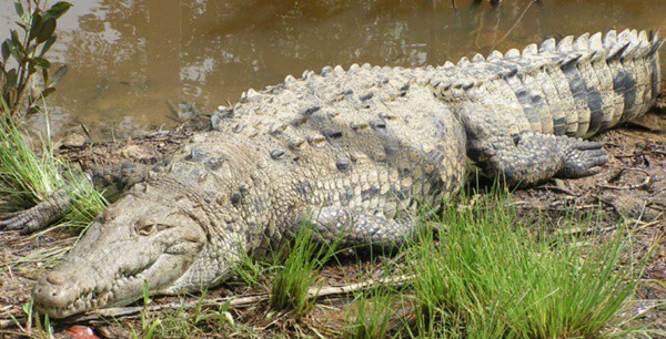 25-american-crocodile-facts-for-kids-4