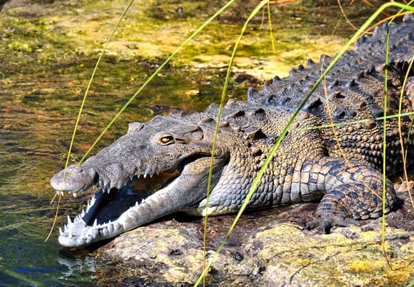 25-american-crocodile-facts-for-kids-5