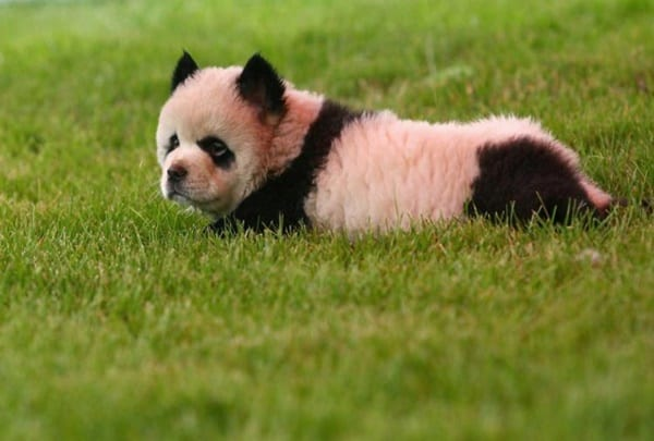 40-fluffy-pictures-of-puppies-that-looks-like-pandas-11