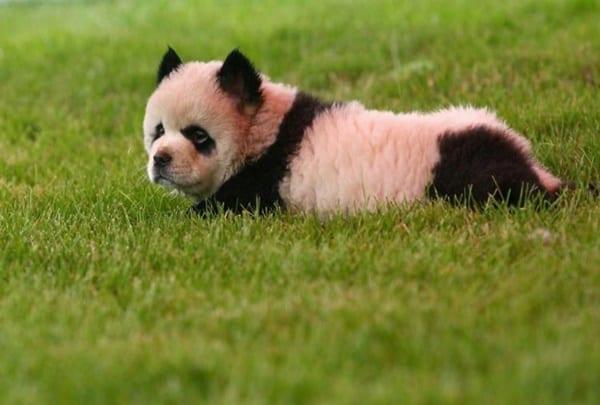 Dogs that look like pandas 10