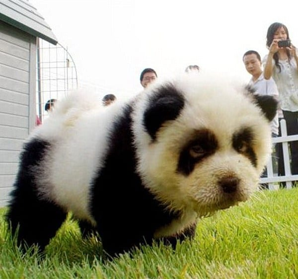 40-fluffy-pictures-of-puppies-that-looks-like-pandas-12