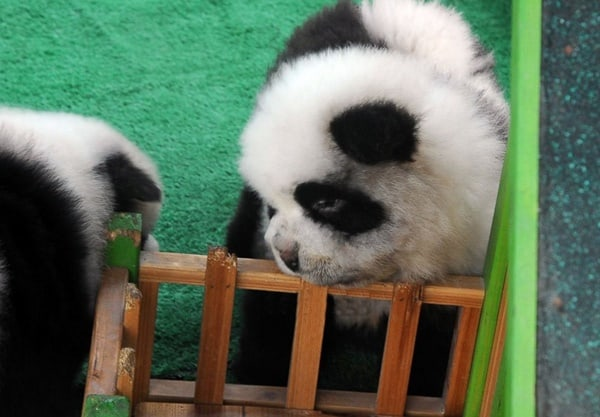 40-fluffy-pictures-of-puppies-that-looks-like-pandas-14