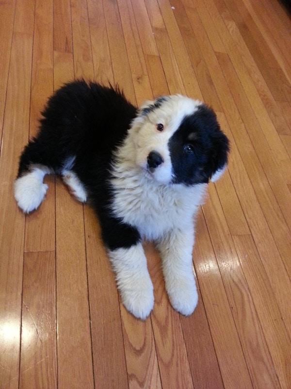 Dogs That Looks Like Bear