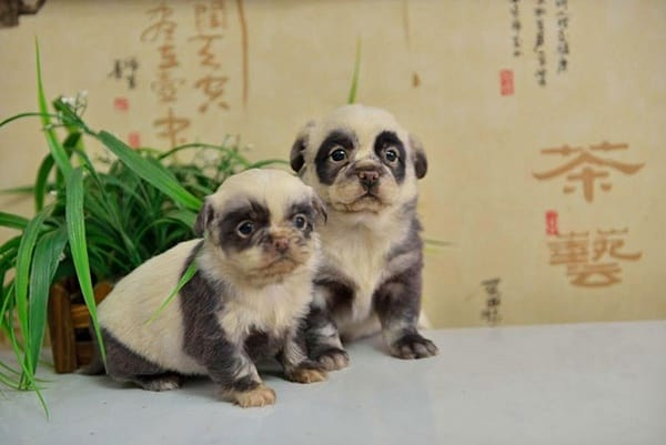 40-fluffy-pictures-of-puppies-that-looks-like-pandas-2