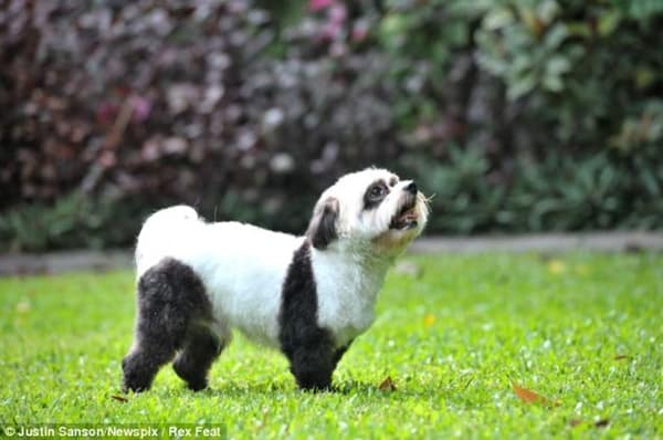 40-fluffy-pictures-of-puppies-that-looks-like-pandas-22