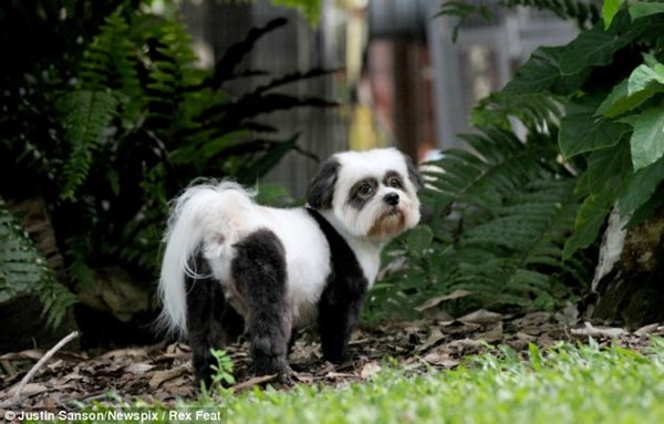 40-fluffy-pictures-of-puppies-that-looks-like-pandas-24