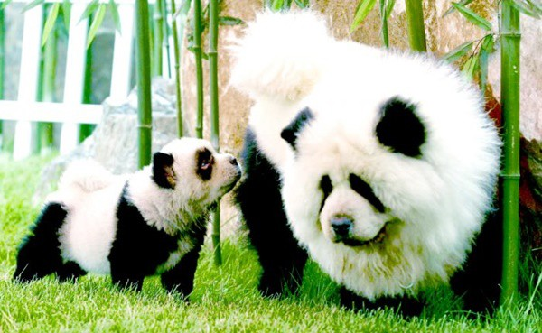40 Fluffy Pictures of Puppies that Looks like Pandas ...