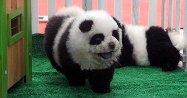 40-fluffy-pictures-of-puppies-that-looks-like-pandas-26