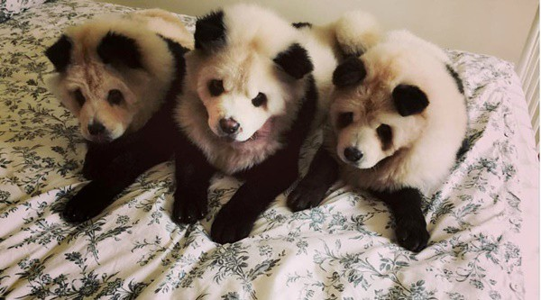 40-fluffy-pictures-of-puppies-that-looks-like-pandas-29