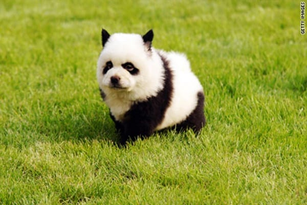 40 fluffy pictures of puppies that looks like pandas tail and fur 40 fluffy pictures of puppies that looks like voltagebd Image collections