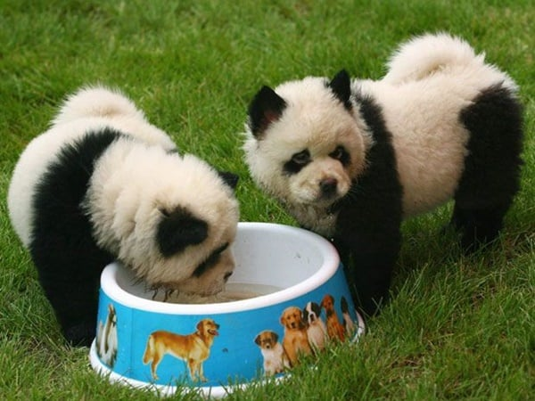 40-fluffy-pictures-of-puppies-that-looks-like-pandas-32