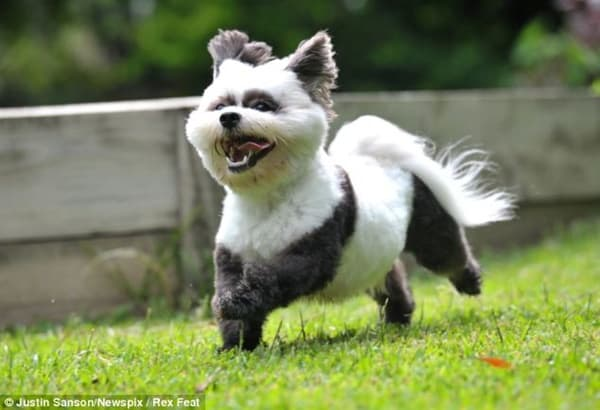 40-fluffy-pictures-of-puppies-that-looks-like-pandas-33
