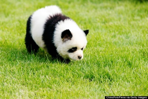 40 fluffy pictures of puppies that looks like pandas tail and fur here we have collected some beautiful images of puppies that look like the pandas so dont miss is out as you will just miss out some real fluffy voltagebd Image collections