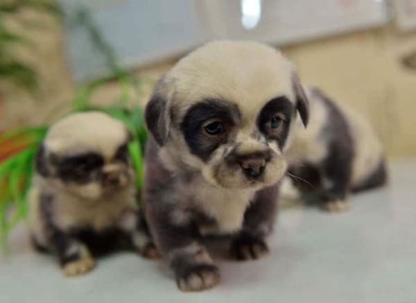 40-fluffy-pictures-of-puppies-that-looks-like-pandas-5