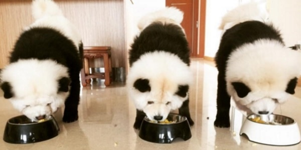40 fluffy pictures of puppies that looks like pandas
