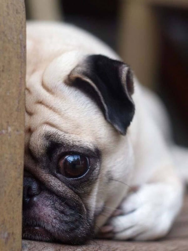 40-pictures-of-desperate-dogs-who-just-want-to-say-you-hi-23