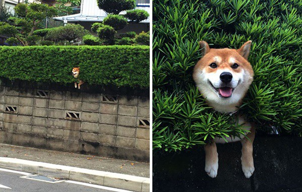 40-pictures-of-desperate-dogs-who-just-want-to-say-you-hi-3