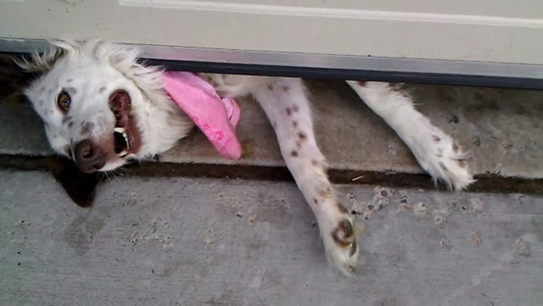 40-pictures-of-desperate-dogs-who-just-want-to-say-you-hi-8