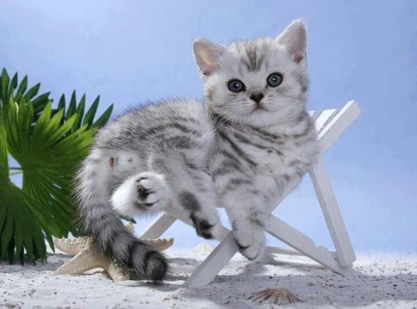 40-pictures-of-cute-silver-tabby-kittens-10