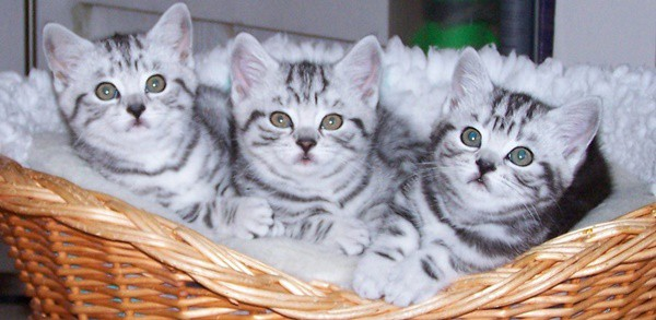 40-pictures-of-cute-silver-tabby-kittens-11