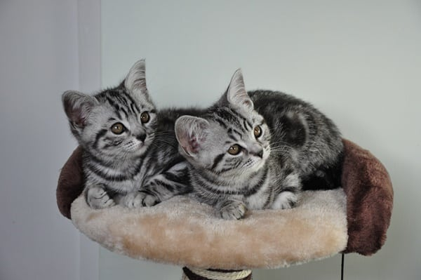 40-pictures-of-cute-silver-tabby-kittens-13