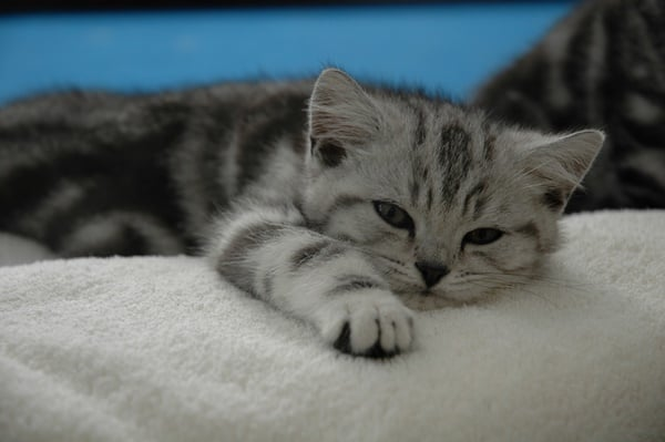 40-pictures-of-cute-silver-tabby-kittens-15