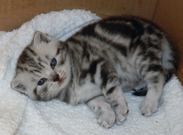 40-pictures-of-cute-silver-tabby-kittens-16