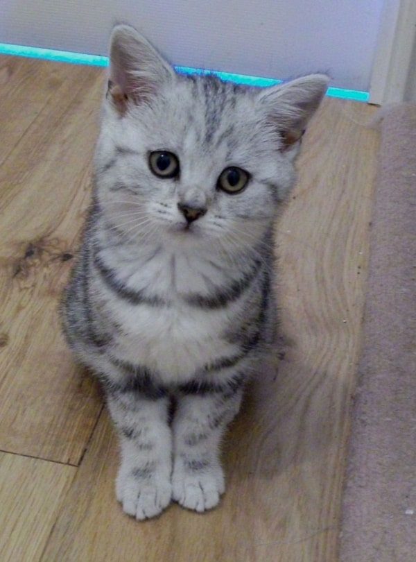 40-pictures-of-cute-silver-tabby-kittens-22