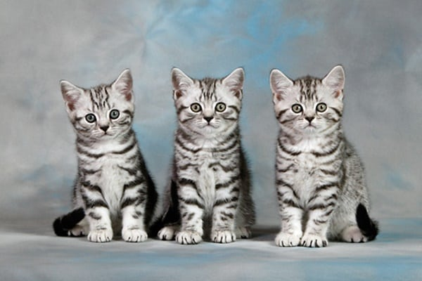 40-pictures-of-cute-silver-tabby-kittens-32
