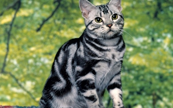 40-pictures-of-cute-silver-tabby-kittens-34