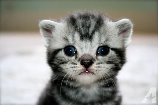40-pictures-of-cute-silver-tabby-kittens-37