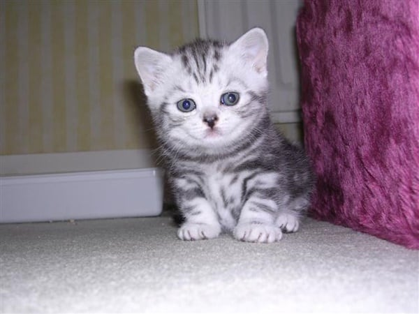 40-pictures-of-cute-silver-tabby-kittens-39