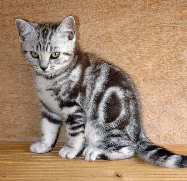 40-pictures-of-cute-silver-tabby-kittens-5