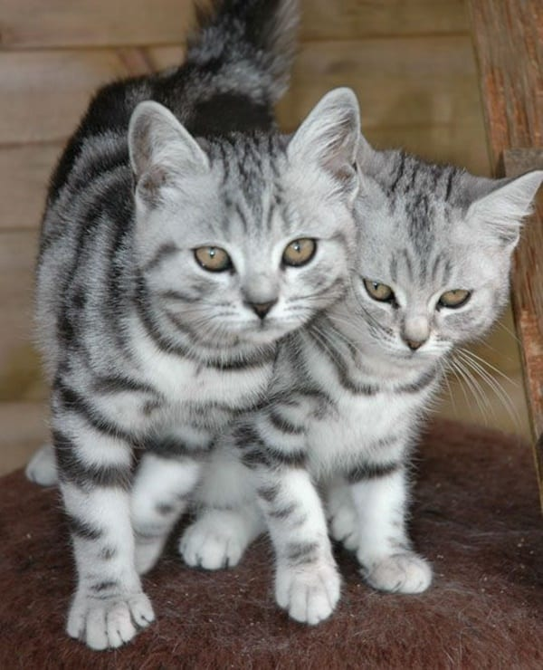 40-pictures-of-cute-silver-tabby-kittens-9