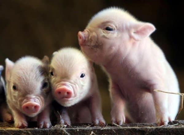 40-heart-melting-pig-pictures-that-can-make-your-day-11