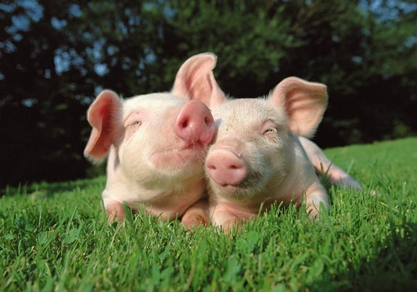 40-heart-melting-pig-pictures-that-can-make-your-day-16