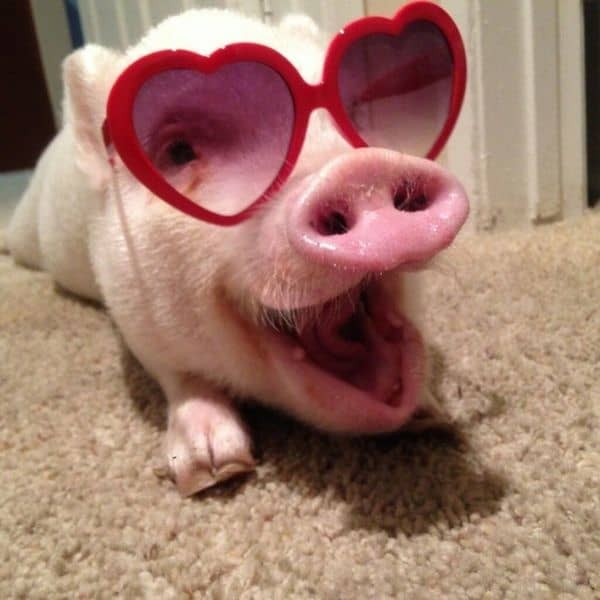 40-heart-melting-pig-pictures-that-can-make-your-day-19
