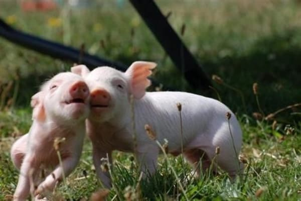 40-heart-melting-pig-pictures-that-can-make-your-day-22